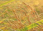 新米特集 平成27年(2015年)|減農薬・無農薬栽培のオーガニック米