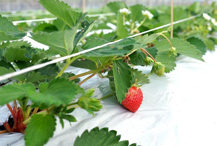 ゆうべに苺の栽培風景2