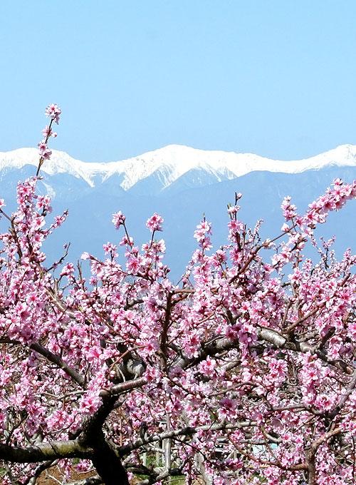 桃の写真4